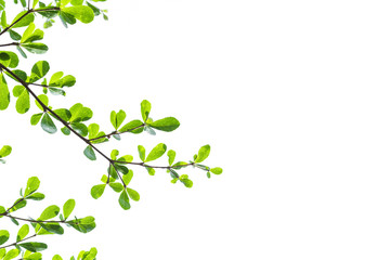Green Leaves isolated on white background concept ,clipping paths
