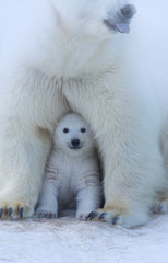 Zelfklevend Fotobehang Ijsbeer Polar Bear Mother and Cub portrait.