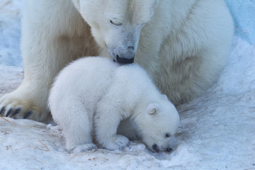 Poster Ijsbeer Polar Bear Mother and Cub portrait.