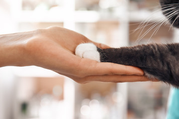I am a friend for my patient. Close-up photo of female vet hand holding a paw of a black fluffy cat during a checkup in veterinary clinic.