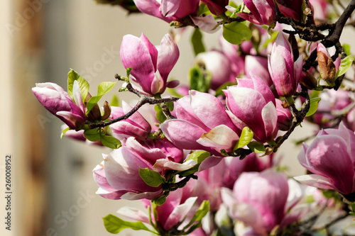 Pink Magnolia Flowers In Magnolia Tree Stock Photo And Royalty Free