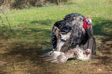 Two free range farm turkey birds about to mate, the male prepares to mount the female. Agricultural poultry breeding.