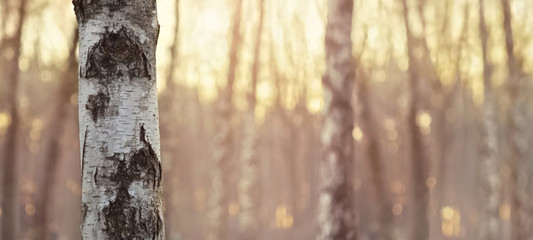 Close view of birch trunk. Nature background. Wall mural