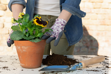Poster Pansies Gardeners hands planting flowers in pot with dirt or soil. Gardening concept