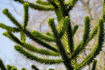 View of the leaves of the Araucaria araucana (monkey puzzle tree)