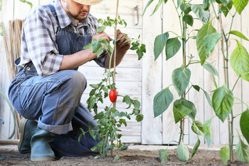 man working in the vegetable garden tie up the tomato plants, take care to make them grow and produce more