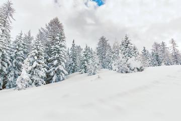 abeti imbiancati con neve fresca