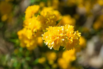 Flowers on a Kerria Japonica Pleniflora deciduous shrub