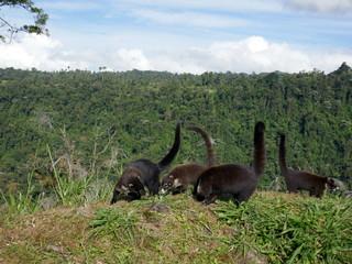 Coatis du Costa Rica