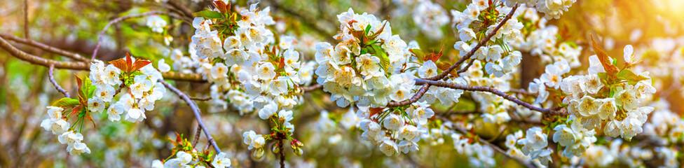 Papiers peints Fleur de cerisier Cherry blossom, spring panoramic background.