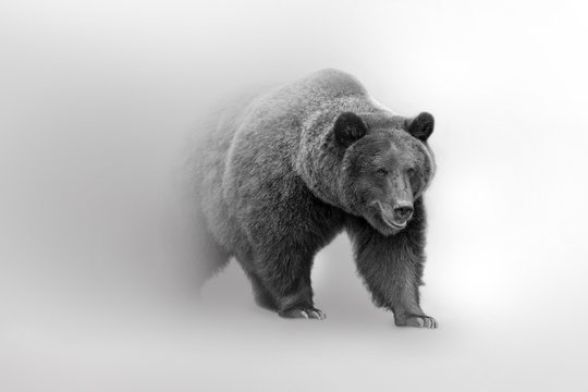 Grizzly bear  beautifull nature wildlife animal collection