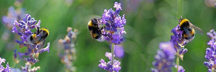 Tuinposter Lavendel BOURDONS BUTINANT LA LAVANDE