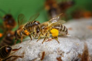 Honigbiene mit Pollentransport
