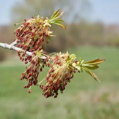 Nahaufnahme eines blühenden Eschenahorn im Frühling