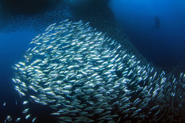 Sardine Run in Moalboal. Cebu, Philippines