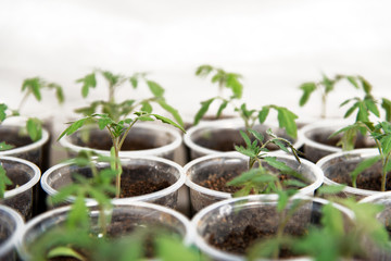 Tomato seedlings in a greenhouse planted in individual pots - selective focus
