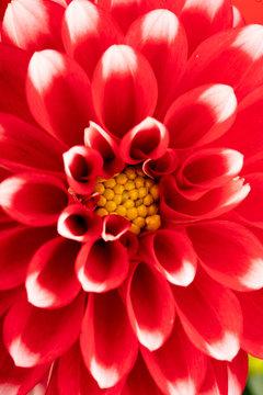 red white dahlia flowers
