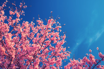 Cherry Blossom trees in spring and clear blue sky