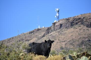 Free range cattle in AZ desert