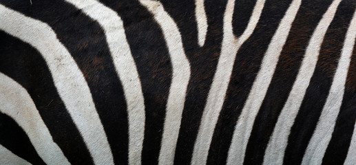 Skin of Burchell's zebra is a southern subspecies of the plains zebra. It is named after the British explorer William John Burchell. Common names include bontequagga, Damara zebra and Zululand zebra