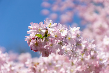 blossom of a cherry tree during springtime