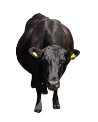 Cow full length isolated on white background.