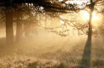 Wall Mural - gold misty sunrise in coniferous woods