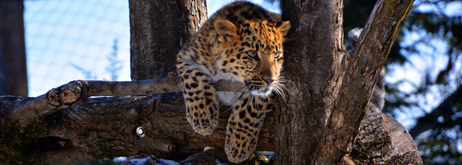 Poster Leopard Amur leopard is a leopard subspecies native to the Primorye region of southeastern Russia and the Jilin Province of northeast China.