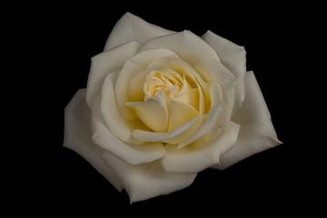Single White Rose Flower Isolated on Black Background