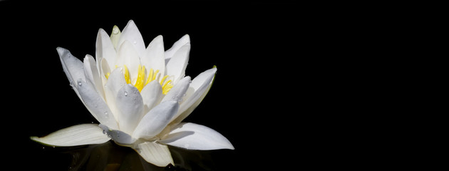 Photo sur Plexiglas Nénuphars Panoramic view of water white lily plant in the black background. Space for text