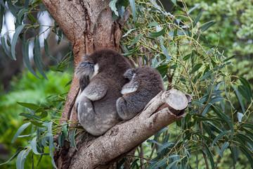 Canvas Prints Cute embracing couple of Australian koala bears mother and its baby sleeping on an eucalyptus tree.