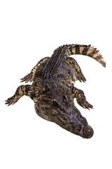 A crocodile lie down on white background