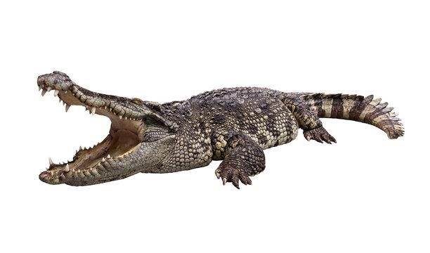 Side view of wide open mount crocodile