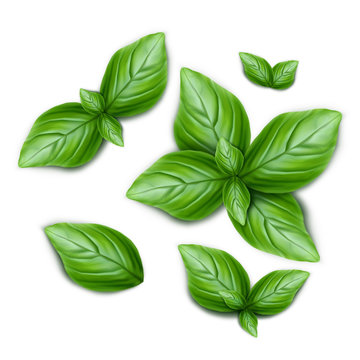 Set of green basil leaves. 3d realistic vector illustration isolated on white background.