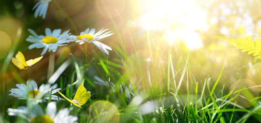 Poster Spring spring or summer nature background with blooming white flowers and fly butterfly against sunrise sunlight