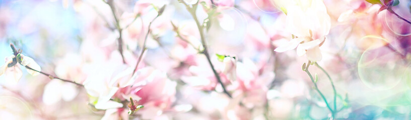 Photo sur Plexiglas Magnolia magnolia blossom spring garden / beautiful flowers, spring background pink flowers