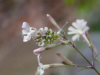 Anthocharis cardamines aka Orange Tip male butterfly on White Campion wild flower, Silene latifolia, camouflage closeup.