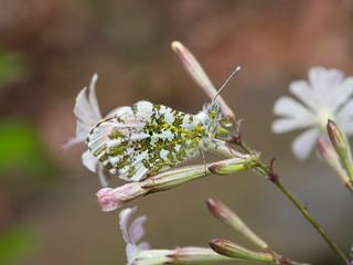 Anthocharis cardamines aka Orange Tip male butterfly on White Campion wild flower, Silene latifolia, camouflage closeup. After rain hence raindrops.