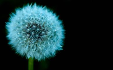 Dandelion flower isolated on black background.