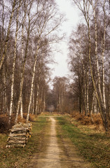 Bouleau verruqueux, Betula verrucosa, Forêt de Gros Bois, 94, Val de Marne