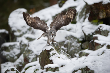 Fototapete - Great grey owl departure frozen in flight