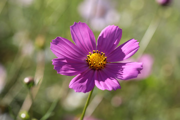 Close-up of a beautiful cosmos flower in the summer garden