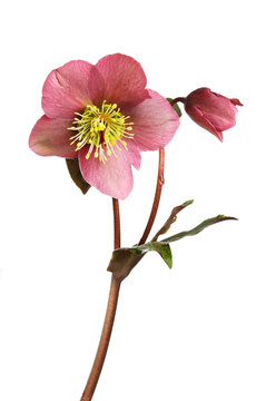 Hellebore flower and foliage
