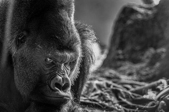 An Angry Gorilla
