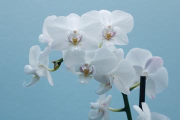 Orchidea na niebieskim tle  powiększeniu
