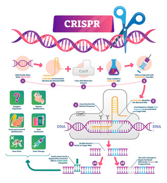 CRISPR vector illustration. Labeled clustered regularly palindromic repeats