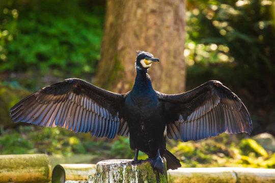 Great Cormorant Phalacrocorax carbo drying wings