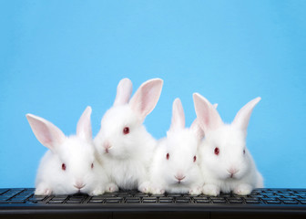 Four adorable white albino baby bunnies perched on a computer keyboard with blue background. Three looking at viewer, or monitor screen direction, one looking to viewers left. Technology concept