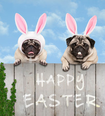 two cute pug puppy dogs, dressed up as easter bunny, hanging with paws on wooden fence, with blue sky background