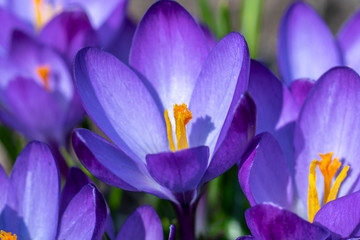Poster Krokussen early spring, flowering Crocus family Crocus Ruby Giant